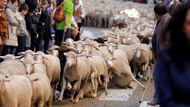 b2b35db3d87b3c6e_Shepherds-lead-sheep-Madrid1